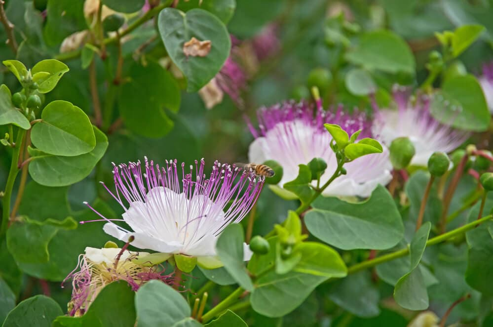 A picture of a flowering caper plant with a bee visiting the flower.