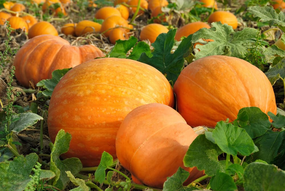 Pumpkins growing in a field ready for harvest time.
