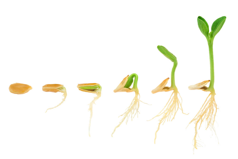 5 different stages of a pumpkin seed turning into a pumpkin sprout.
