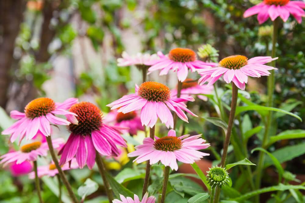 A picture of purple coneflowers.