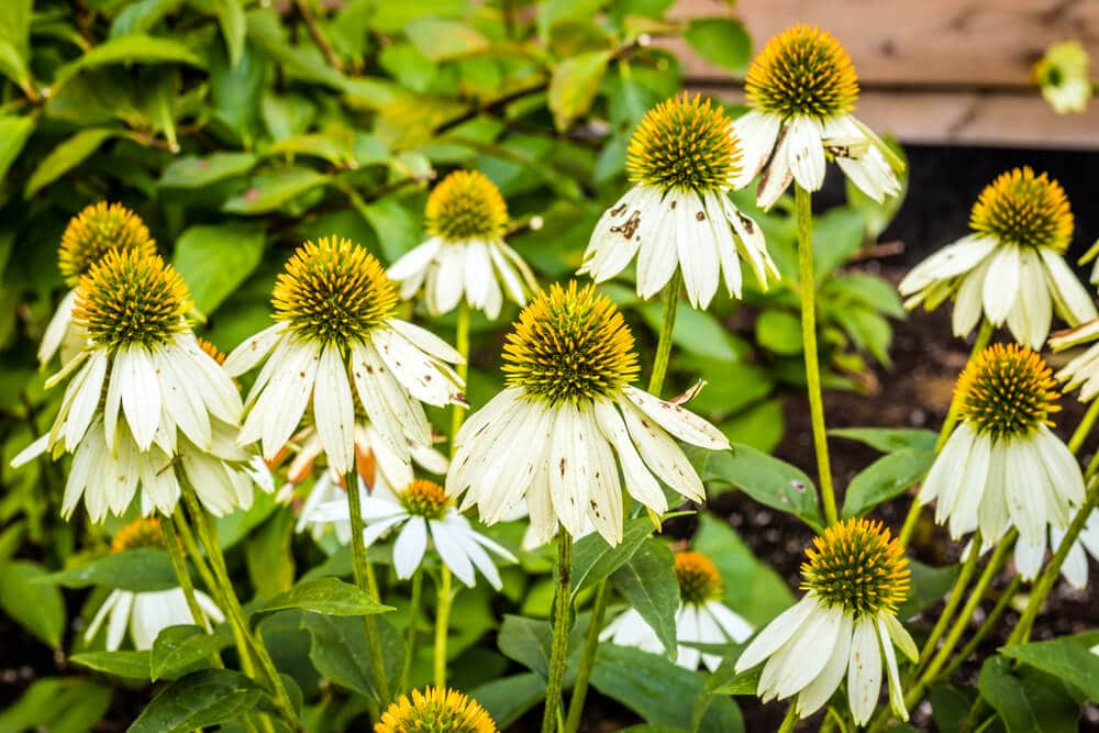 A picture of white swan coneflowers growing.
