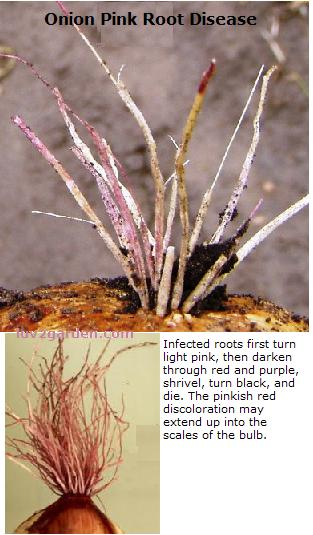 A picture of infected roots that have turned pink. Showing what pink root looks like.
